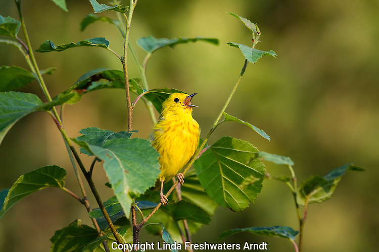 American yellow warbler singing