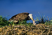 Bald Eagle (Haliaeetus leucocephalus) feeding very young chick (eaglet) in nest.