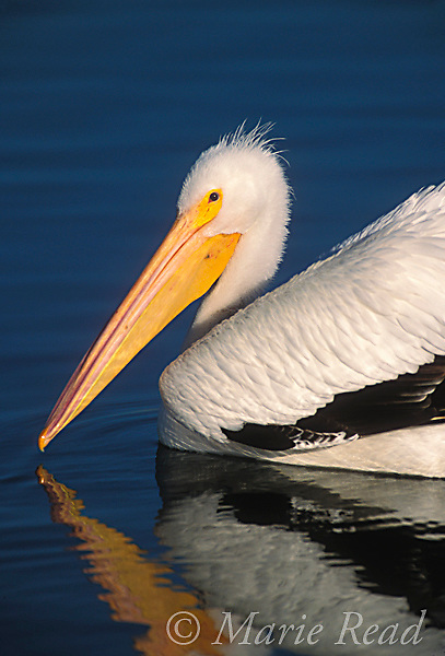 American White Pelican (Pelecanus erythrorhynchos), adult, close up, swimming, California, USA <br /> Slide # B12-389