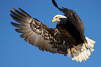 Eagle - Bald - In Flight