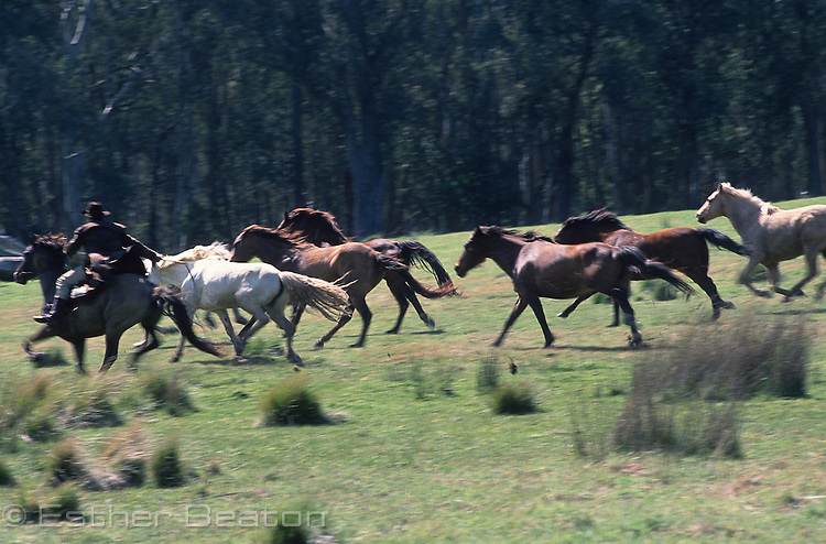 "Stockmen chasing horses across a ""high country"" meadow. Mt Buller, Snowy Mountains, Victoria"