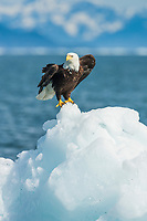Bald eagle on iceberg, northern Prince William Sound, southcentral, Alaska