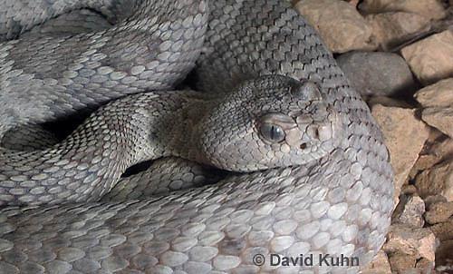 0421-1004  Santa Catalina Island Rattlesnake (Grey Variant), Endangered Species, Crotalus catalinensis  © David Kuhn/Dwight Kuhn Photography.