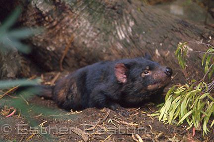 Tasmanian Devil (Sarcophilus harrisii) Tasmania
