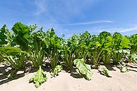 Sugar beet plants - Norfolk, July