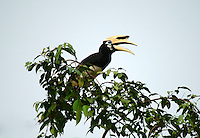 The Oriental Pied Hornbill (Anthracoceros albirostris) is a species of hornbill in the Bucerotidae family. It is found in much of the Indian Subcontinent and Southeast Asia, ranging across Bangladesh, Bhutan, Brunei, Cambodia, China, India, Indonesia, Laos, Malaysia, Myanmar, Nepal, Singapore, Thailand, and Vietnam. Its natural habitat is subtropical or tropical moist lowland forests. The Oriental Pied Hornbill's diet includes rambutans.