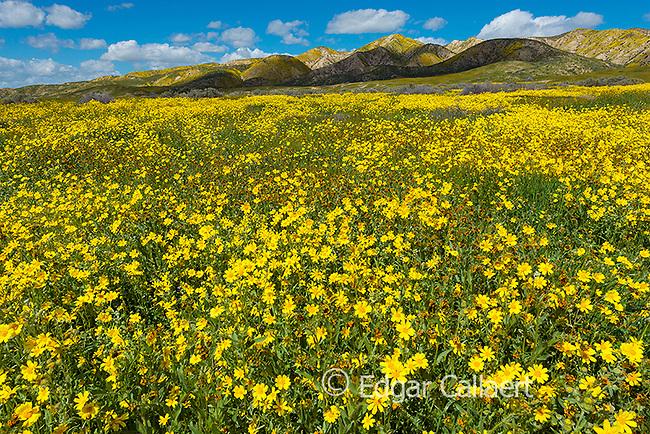 Fiddlenecks, Monolopia, Tremblor Range, Carizzo Plain National Monument, San Luis Obispo County, California