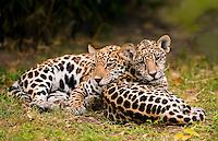 Jaguar (Panthera onca) cubs napping together