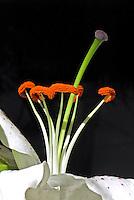 Flor Lírio (Lilium pumilum). SP. Foto de Manuel Lourenço.