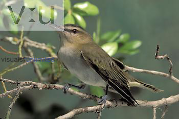 Red-eyed Vireo (Vireo olivaceus) Texas, USA