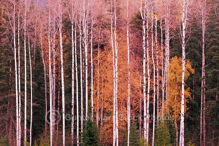 Trembling Aspen Trees / Aspens (Populus tremuloides), Mount Robson Provincial Park, BC, British Columbia, Canada - Autumn / Fall