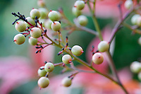 Heavenly Bamboo fall berries in front of red blueberry folliage.