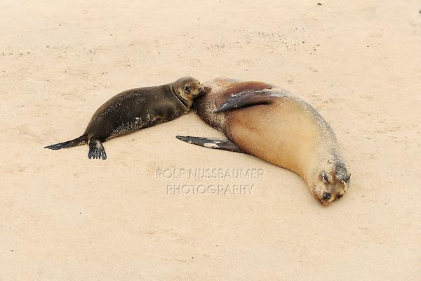 Galapagos Sea Lion (Zalophus wollebaeki), young nursing, Espanola Island, Galapagos, Ecuador, South America
