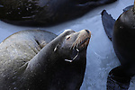 California sea lion male with fishing hook in mouth