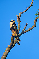 527550001 a wild female aplomado falcon falco femoralis perches on a dead tree snag on a private ranch in tamaulipas state mexico - species is endangered