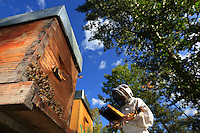 At the experimental apiary of the CNRS (national center for scientific research) in Toulouse, the hornets attack during the beekeeper's inspection of the hives. ///Sur le rucher expérimental du CNRS à Toulouse, les frelons attaquent pendant l'inspection des ruches par l'apiculteur.