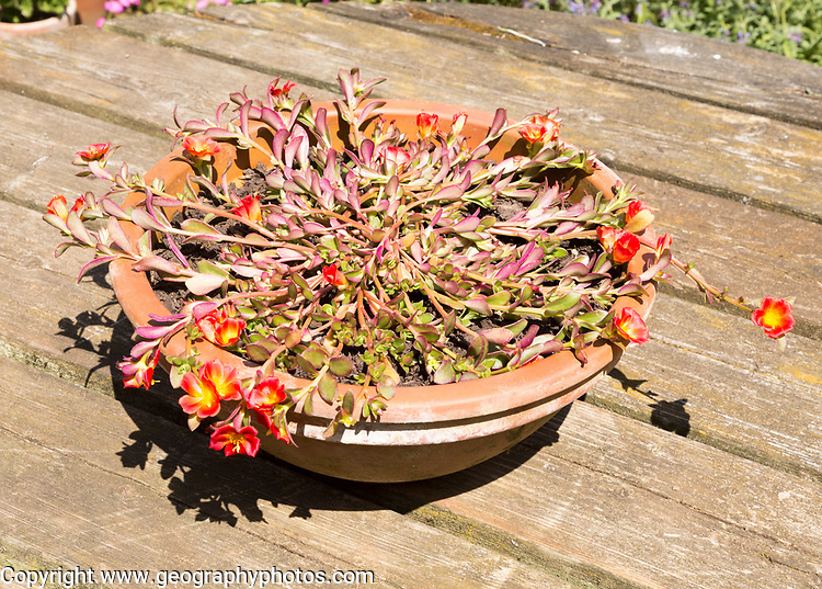 Purslane plant, Portulaca oleracea, growing in pot, Suffolk, England, UK