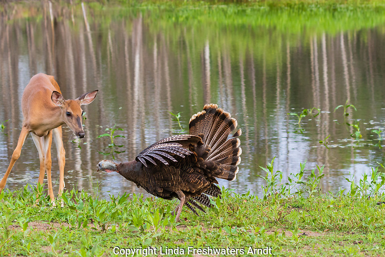 Confrontation between a hen turkey and a white-tailed deer,