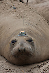 Elephant seal female with research device.  UCSC research.
