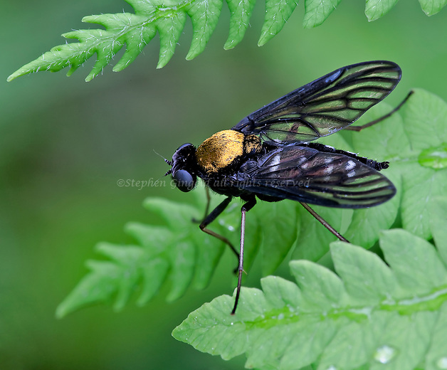 A beautiful Golden-backed Snipe Fly.