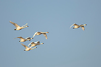 Group of adult and immature Tundra Swans (Cygnus columbianus) in flight during migration. Montezuma NWR, New York. March.