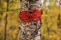 Red paint trail marking on birch tree, Kungsleden trail, Lapland, Sweden