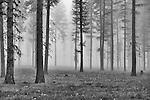 The fog-enshrouded trees creates an eerie scene in the early morning.