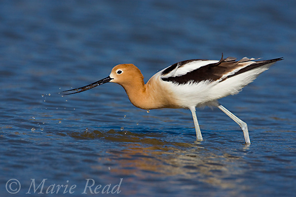 American Avocet (Recurvirostra americana), Orange County, California, USA