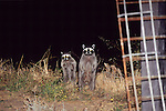 Raccoons At Night