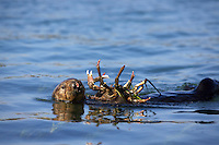 Female sea otter eating a large sheep crab.