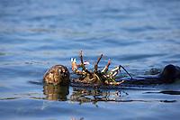 Female sea otter eating a large sheep crab.