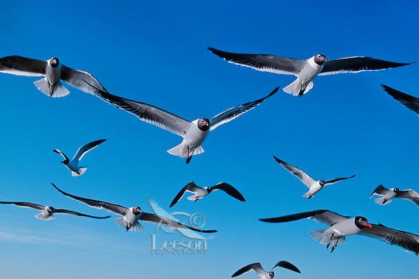 Laughing Gulls (Larus atricilla).  Texas coast.