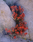 Joshua Tree National Monument, CA<br /> Seedpods and blossoms of desert paintbrush (Castilleja chromosa) in a rock crevice in the Hidden Valley