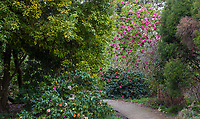 Camellia reticulata 'Dolores Hope' pink flowering winter shrub in San Francisco Botanical Garden