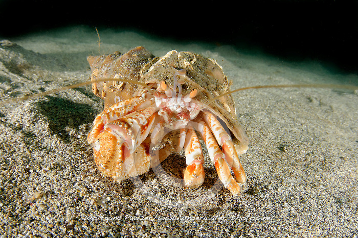 Pagurus bernhardus, Syn.: Eupagurus bernhardus, Gemeiner Einsiedlerkrebs, Common Hermit Crab or Soldier Crab, Reykjavík, Faxafloi-Bucht, Island, Nord Atlantik, Faxafloi-Bay, North Atlantic