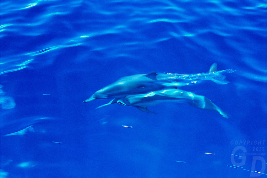 Dolphis roaming the waters in the South Pacific, near Palau Micronesia