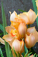 Cymbidiums Milk Tea peach toned orchid flowers, hybrid cool growing plant in bloom