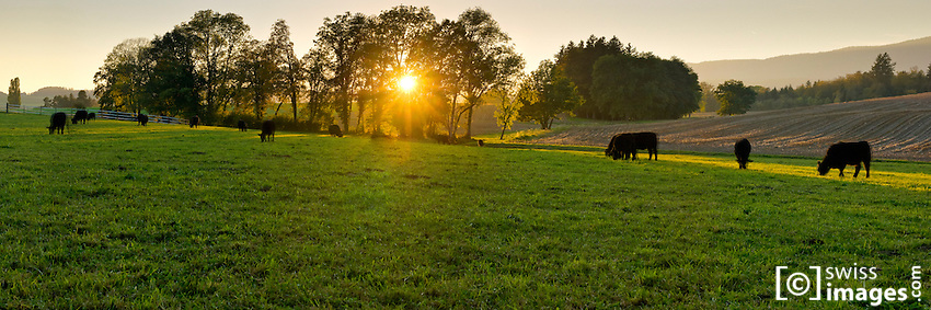 Field with black cows at sunset