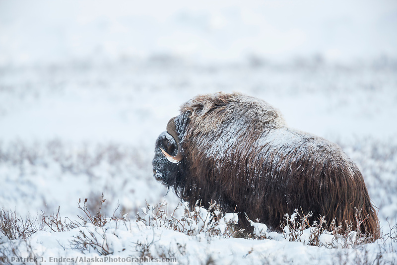 Muskox in the snow tundra of Alaska's  Arctic North Slope.