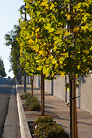 "Trees backlit by the setting sun line Grand Ave. northwest of Longview.  This was part of the 2015 rebuild of the Grand Avenue and Longview Drive intersection for Diamond Bar's 2015 ""Grand Avenue Beautification"" project, landscape architecture for the project was by David Volz Design."