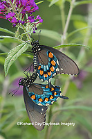 03004-01505 Pipevine Swallowtail (Battus philenor) male and female mating on Butterfly Bush (Buddleja davidii) Marion Co. IL