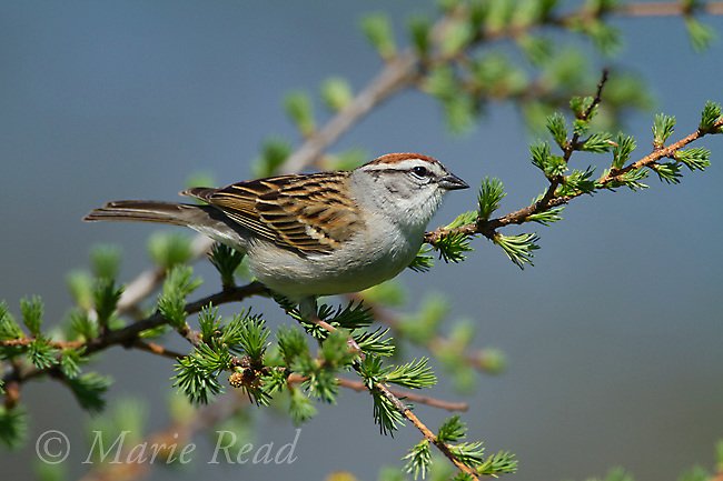 Chipping Sparrow (Spizella passerina), perched on larch branch in spring, New York, USA