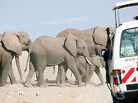 African Elephant herd passing by a tourist safari van, Amboseli National Park, Kenya