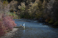Fly Fisherman, Provo River, Autumn Fall Colors, Utah, USA.