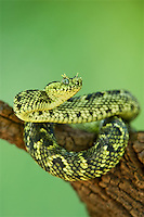 489550012 a captive usambara mountains eyelash bush viper atheris ceratophora sits coiled on a tree stump species is newly recorded and native to the usambara mountains of tanzania