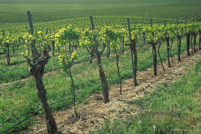 Grape vines in spring at Cambria Winery, Santa Maria Valley, Santa Maria, Santa Barbara County, California