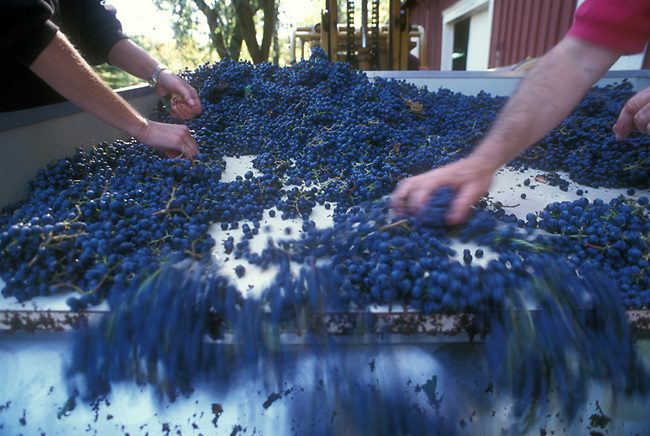 Cabernet grapes are sorted at winery near Calistoga.  Stems and leaves are removed before crushing
