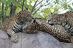 Jaguar female and 2 cubs, grooming