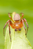 Six-spotted Orbweaver (Araniella displicata) - Immature Male, West Harrison, Westchester County, New York