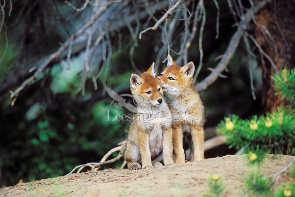 Wild Coyote pups wait near densite for parent to return.  Western U.S., June.